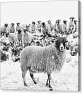 Leader Of The Flock Canvas Print