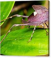 Leaf Katydid Canvas Print