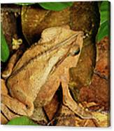 Leaf Litter Toad Bufo Typhonius Canvas Print