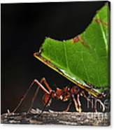 Leafcutter Ant Canvas Print