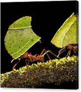 Leafcutter Ants Carrying Leaves Costa Canvas Print