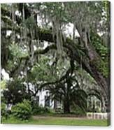 Leaning Live Oak Canvas Print