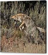 Leaping Coyote Canvas Print