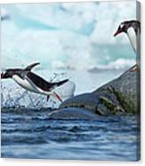 Leaping Gentoo Penguins, Antarctica Canvas Print