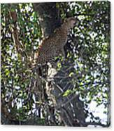 Leaping Leopard Canvas Print