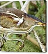 Least Bittern Female Feeding Canvas Print
