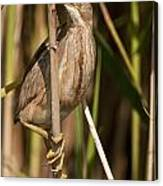 Least Bittern Pictures 14 Canvas Print