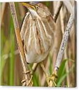 Least Bittern Pictures 35 Canvas Print