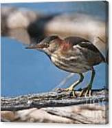 Least Bittern Pictures 7 Canvas Print