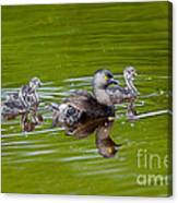 Least Grebe And Young Canvas Print