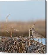 Least Sandpiper Morning Canvas Print