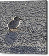 Least Tern Chick Canvas Print