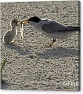 Least Tern Feeding It's Young Canvas Print