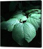 Leaves In A Patch Of Sunlight Canvas Print