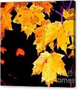 Leaves Of Maple Canvas Print