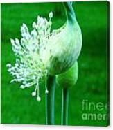 Leek Flower Canvas Print