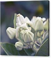 Lei Pua Kalaunu - Crown Flower - Calotropis Gigantea - Asclepiad Canvas Print