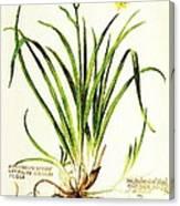 Lemon Daylily Botanical Canvas Print