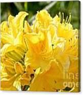 Lemon Drop Azalea Canvas Print