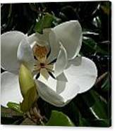 Lemon Magnolia Canvas Print