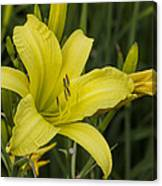 Lemon Yellow Daylily Blossom Canvas Print