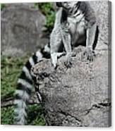 Lemur Pose Canvas Print