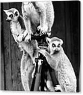 Lemurs Perched On Tripod Canvas Print