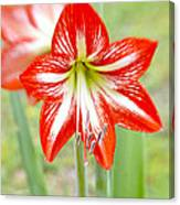 Lensbaby 2 Orange Red And White Amaryllis Blooms Canvas Print