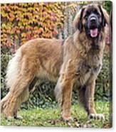 Leonberger Dog Canvas Print