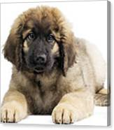 Leonberger Puppy Canvas Print