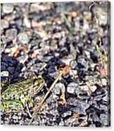 Leopard Frog And Gravel Canvas Print