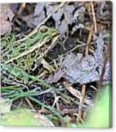 Leopard Frog And Leaf Litter Canvas Print