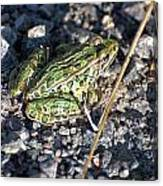 Leopard Frog In Gravel II Canvas Print