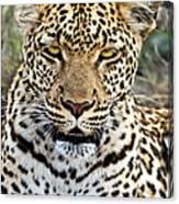 Wild Leopard In Botswana Canvas Print