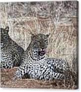 Leopard Mates Canvas Print