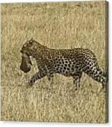 Leopard On The Move Canvas Print