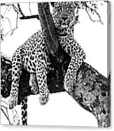 Leopard - Panthera Pardus. Leopard Will Canvas Print