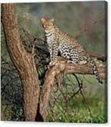 Leopard Panthera Pardus Sitting Canvas Print