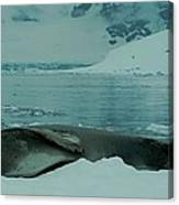 Leopard Seal Hauled Out Canvas Print