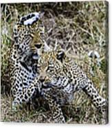 Leopard Tease Canvas Print
