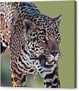 Jaguar Walking Portrait Canvas Print