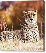 Leopard Watching Canvas Print