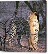 Leopard With African Wild Cat Kill Canvas Print
