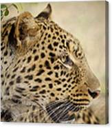 Leopard Zimbabwe Canvas Print