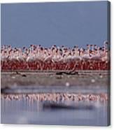 Lesser Flamingos In Mass Courtship Lake Canvas Print