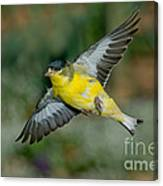 Lesser Goldfinch Male-flying Canvas Print