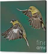 Lesser Goldfinch Pair In The Air Canvas Print