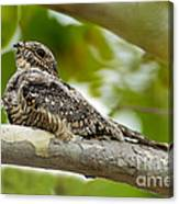 Lesser Nighthawk On Branch Canvas Print