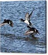 Lesser Scaup Ducks Canvas Print