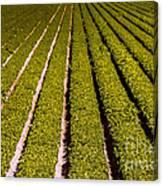 Lettuce Farming Canvas Print